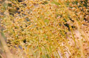 calemina sativa, camelina, plantation, seeds, sativa, scaled, crops, plant, oil, feedstocks, field