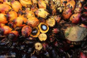 palm seeds, cpo, cpko, palm, crops, seeds, palm oil, pko