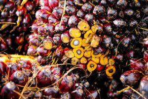 palm, palm oil, palm crops, crops, red, yellow, pko, cpo