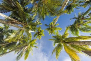 palm trees, palm, trees, green, blue, sky, coconut, coconut oil, coconut trees, philippines, cno