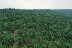 palm, trees, indonesia, aereal, sky, green, plantation
