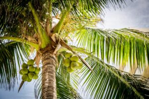 tree, palm tree, coconut, cno